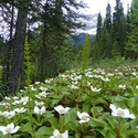 Bunchberry, Canadian Rockies