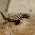 CARBONELL'S WALL LIZARD, Donana