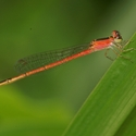 CERIAGRION BELLONA