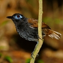 CHESTNUT-BACKED ANTBIRD, near Bosque del Cabo