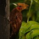 CHESTNUT-COLORED WOODPECKER, Laguna Lagartos