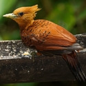 CHESTNUT-COLOURED WOODPECKER, Laguna Lagartos