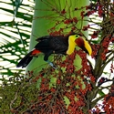 CHESTNUT-MANDIBLED TOUCANS, Bosque del Cabo