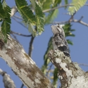 COMMON POTOO, Rewa