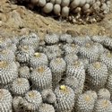 COPIAPOA DEALBATA, Llanos de Challe