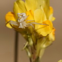 CRAB SPIDER ON LINARIA SPARTEA, Donana