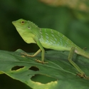 CRESTED GREEN LIZARD, Gomantong