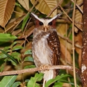 CRESTED OWL, Awarmie, Rewa