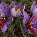 CROCUS CARTWRIGHTIANUS, Sounion