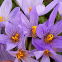 CROCUS PALLASII SSP DISPATHACEUS