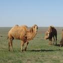 Camels, Tien Shan Mountains