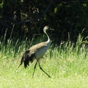 Common Crane, on the way to Langhammers, Gotland