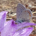Colchicum macrophyllum and Common Blue