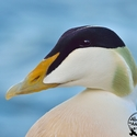 breeding drake Common Eider portrait