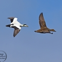 Common Eider pair in flight