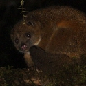 Coppery Ringtail, Ambua PNG