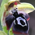 Ophrys cretica
