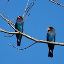 DOLLARBIRDS, Sukau