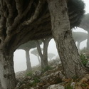 DRACAENA CINNABARI (Dragon Tree) IN THE MIST