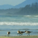 Western Sandpipers and surf