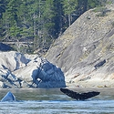 Humpbacks close to shore