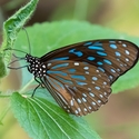 Dark Blue Tiger (Tirumala septentrionis)