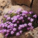 Dionysia bryoides