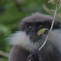 Dry zone Purple-faced Langur