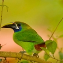 EMERALD TOUCANET, Savegre