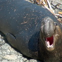 Elephant Seal male