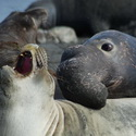Elephant Seal courtship