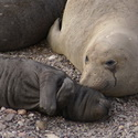 Elephant Seal mum and pup