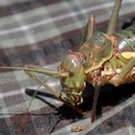 A female Ephippiger ephippiger (European Bushcricket) taken with a Canon EOS 400D