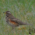 adult Eurasian Redwing