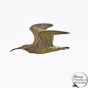 Whimbrel in flight