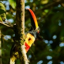 FIERY-BILLED ARACARI, Bosque del Cabo