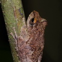 FRILLED TREE FROG, Danum Valley