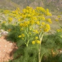 Ferula communis, beside road to Triopetra, southern Crete
