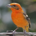 Flame-coloured Tanager