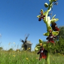 Fly Orchid, Gotland