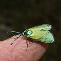 Forester moth, common