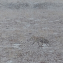 Fox in the Snow on the Chang Tang
