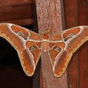 GIANT ATLAS MOTH, Danum