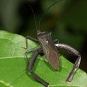 BIG-THIGHED BUG, Pumarinri