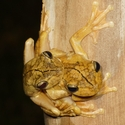 GLADIATOR TREE FROGS, Bosque del Cabo