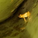 GOLDEN ROCKET FROG, Kaieteur Falls