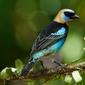 GOLDEN-HOODED TANAGER, Laguna Lagartos