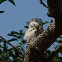GREAT POTOO AND CHICK, Rewa