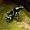 GREEN-AND-BLACK POISON FROG, Bosque del Cabo