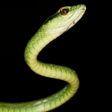 GREEN PARROT SNAKE, Las Heliconias